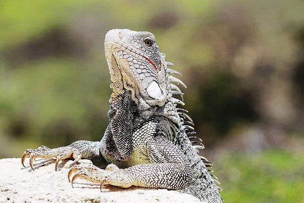 iguana-urlaub-curacao-ferienhaus-karibik (6)