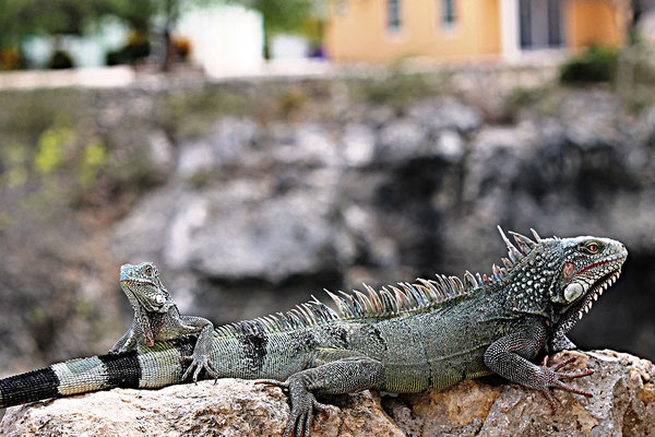 iguana-urlaub-curacao-ferienhaus-karibik (4)