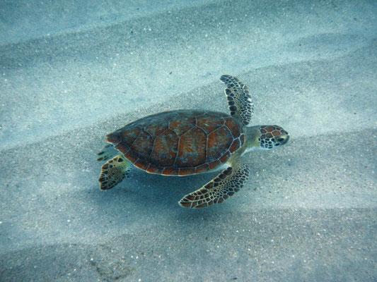 Sonja + Ronald - Dezember 2016 - Turtle - Schildkröte