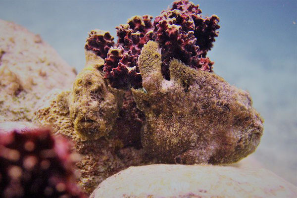 Frogfish-1-Urlaub-auf-Curacao