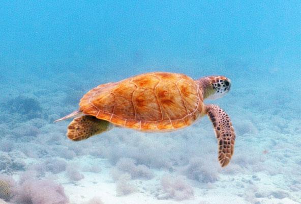 www.urlaub-auf-curacao.net- Turtle - Schildkröte