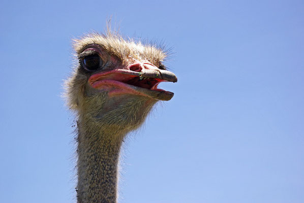 ostrich-urlaub-curacao-ferienhaus-karibik