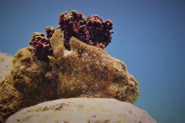 Frogfish-Urlaub-auf-Curacao