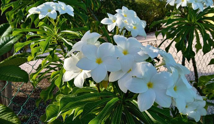 Pflanzen-Urlaub-Curacao-CAS-BON BINI-Villapark Fontein-5
