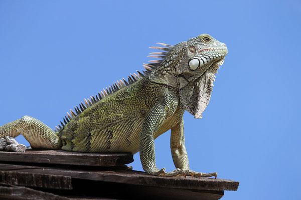 iguana-urlaub-curacao-ferienhaus-karibik