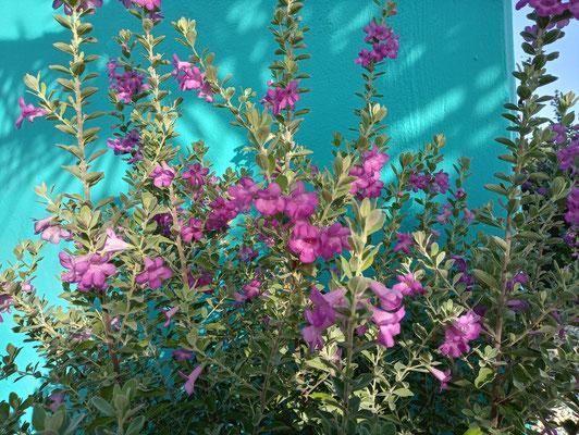 Pflanzen-Urlaub-Curacao-CAS-BON BINI-Villapark Fontein-7