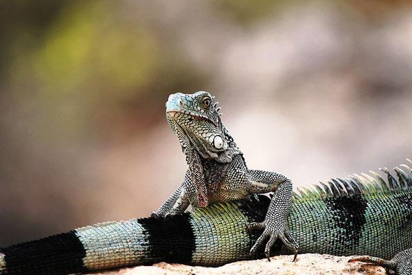 iguana-urlaub-curacao-ferienhaus-karibik (5)