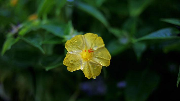オシロイバナ(白粉花、白粧花、学名:Mirabilis jalapa)