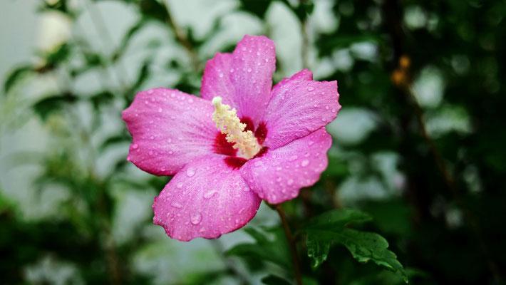 ムクゲ(木槿、学名: Hibiscus syriacus)