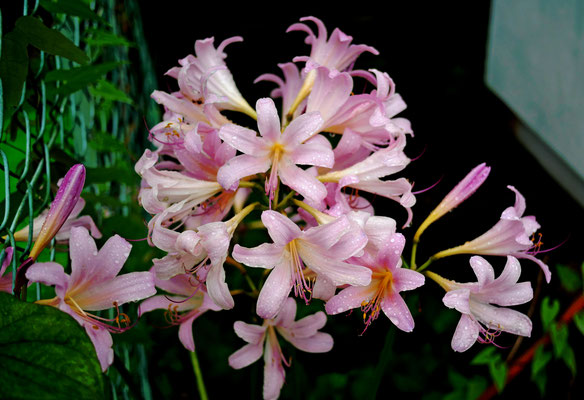 ナツズイセン(夏水仙、学名: Lycoris squamigera)