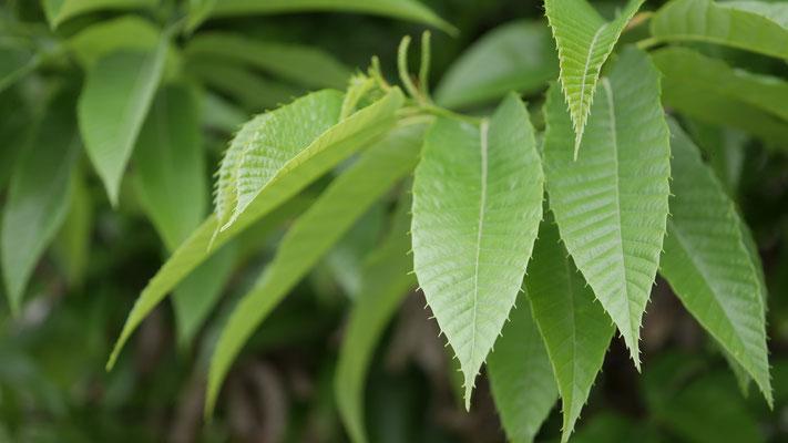 丹沢栗の葉