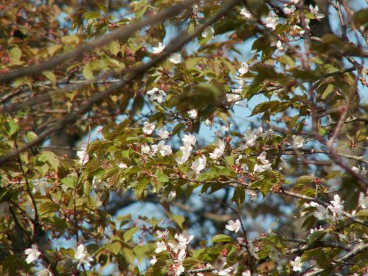 写真D 難台山頂の桜