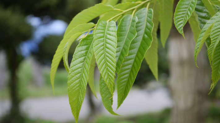 しだれ栗の葉