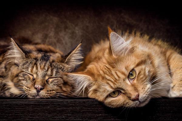 Maine Coon Katzen schlafend von Tobias Gawrisch (Xplor Creativity)