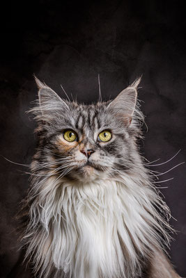 Maine Coon Katze von Tobias Gawrisch (Xplor Creativity)