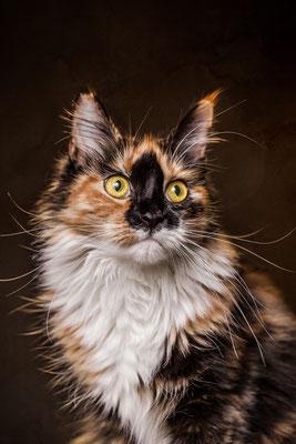 Maine Coon Katze Happy von Tobias Gawrisch (Xplor Creativity)