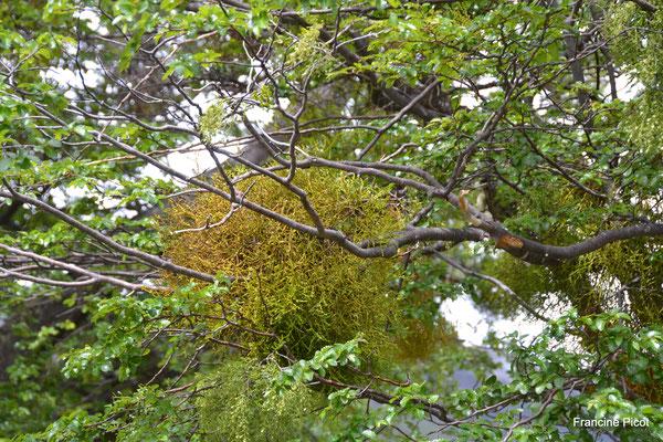 Chinese lanterne : parasite des arbres,sorte de gui