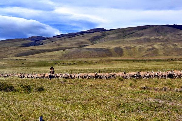 Gaucho et son troupeau de moutons tondus