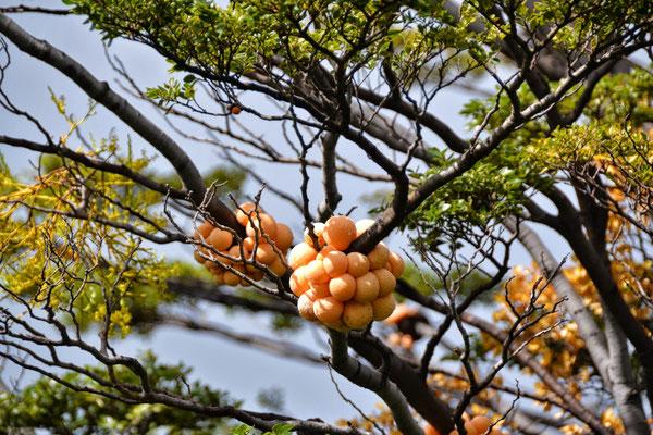 Pan de indio : champignons comestibles crus que nous avons goûté