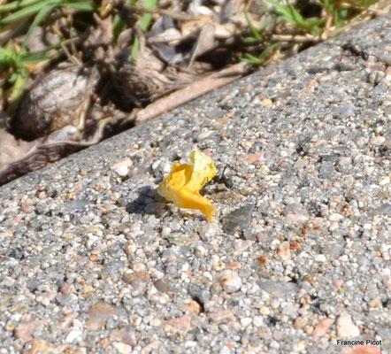 Petite fourmi transportant une immense pétale de fleur
