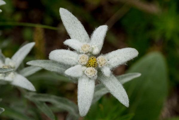 Edelweiss, Scweiz