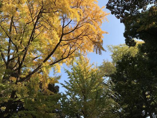大きな木 黄色い葉っぱ