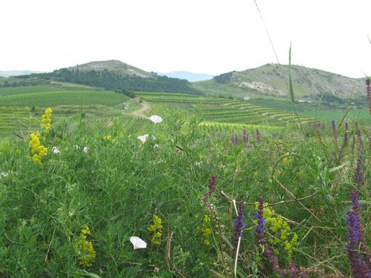 Weingut: Budureasca, Rumänien