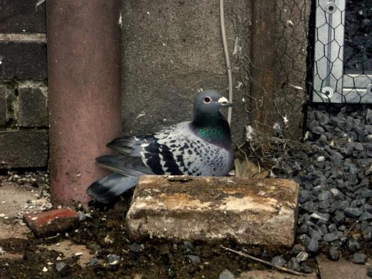 brütende Taube in der Stadt
