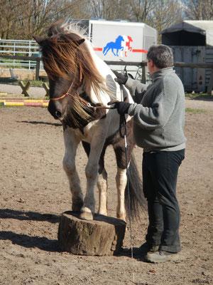 Islandpferdehof Fönixtal - Stehen auf einer Baumscheibe