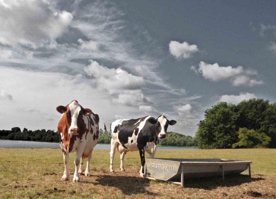 Kühe am Roosenhofsee