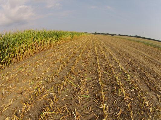 Nach dem Mais Häckseln werden die Maisstoppeln für die Feldhygienegemulcht