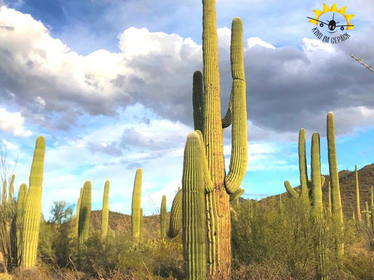 Die riesigen Saguaros in den beiden Teilen des Saguaro NP in Tucson.
