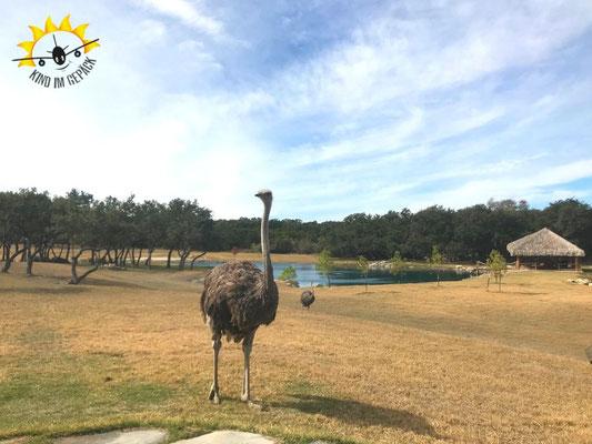 Vogelstrauß auf der Sweet Serengeti Ranch.