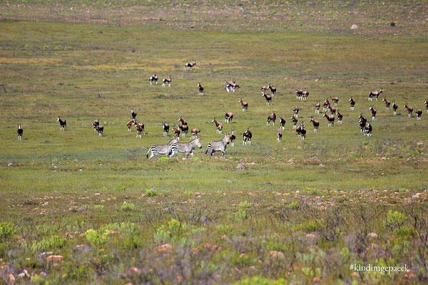 ...und dann eine große Here Buntböcke und Zebras.