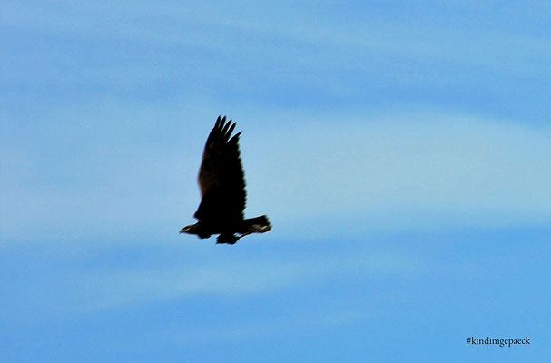 Greifvogel mit Beute