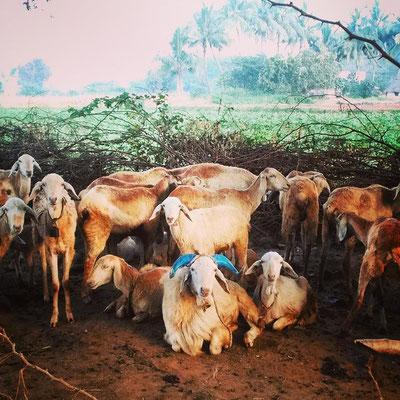 動かずに、じっとこっちを見ているヤギさんたち。タミルナードゥの農村。