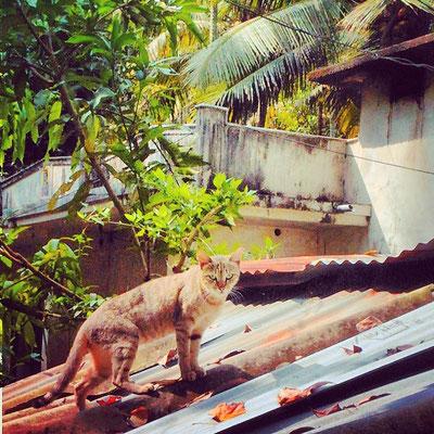 近所の猫。