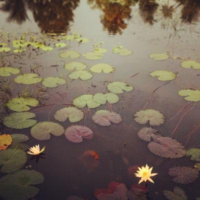 ウォーター・リリー、水に咲くユリ。
