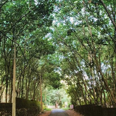 ゴムの木でできた、緑のトンネル。
