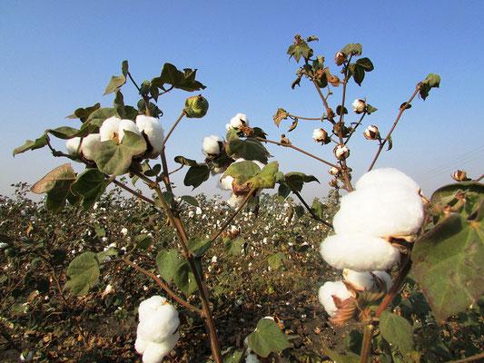 Bio-Baumwolle