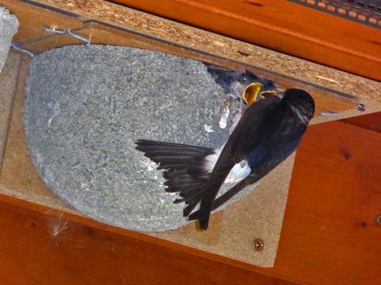 Foto: Andreas Wick, Mehlschwalbe bei der Fütterung
