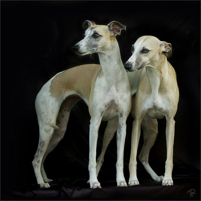 Whippets 7