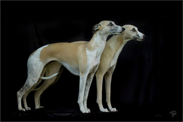 Whippets 4