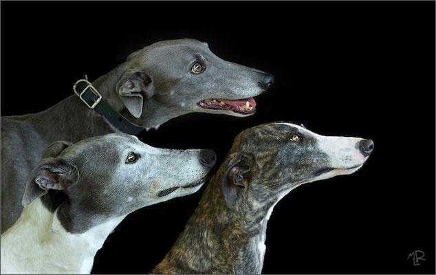 Greyhounds et galgo