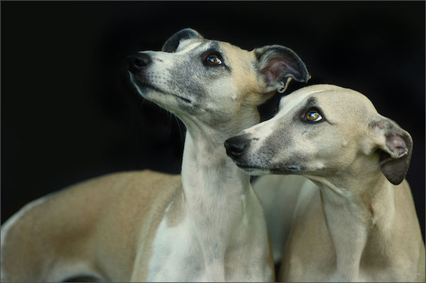 Whippets 6