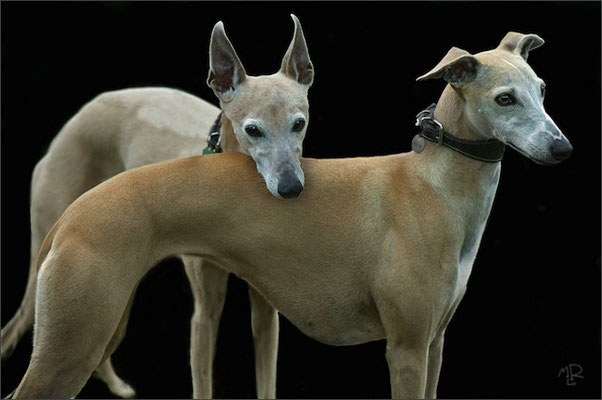 Whippets 9