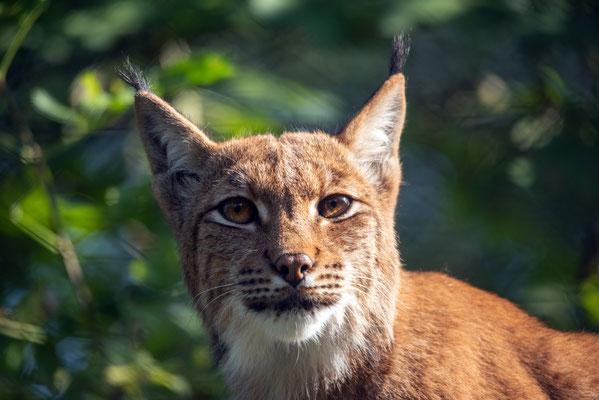 2020, Woche 39, Luchs im Tierpark Goldau