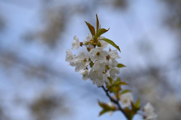 2019, Woche 16, Kirschbaumblüten