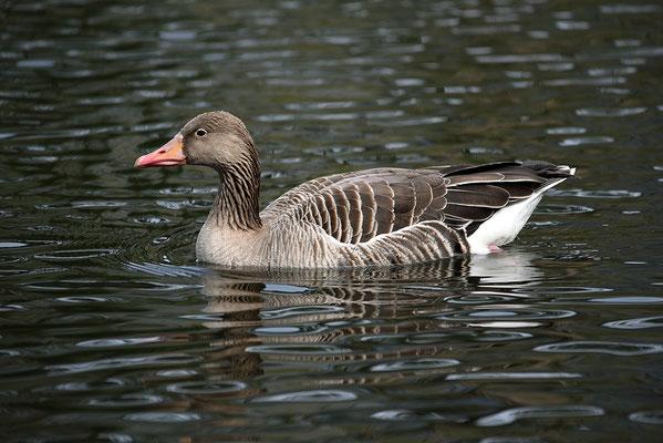 Nr. 6222 / 2016 / Tierpark Arth-Goldau / 6016 x 4016 / JPG-Datei