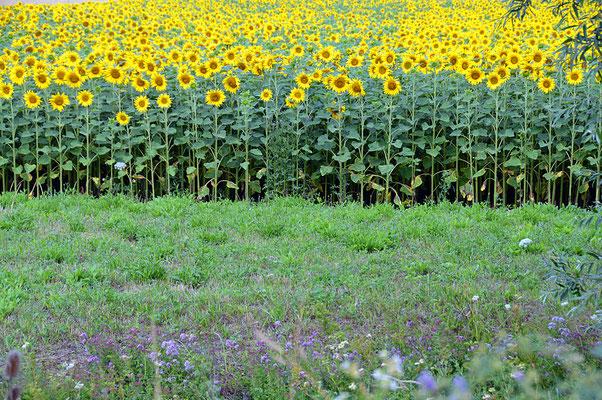 5227 / Woche 27 / Sonnenblumenfeld bei Wasterkingen